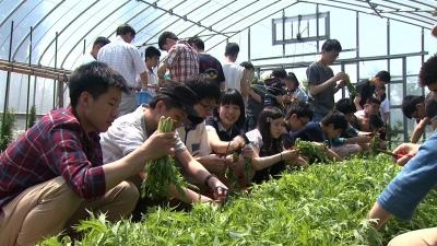 氷室の郷京野菜の収穫