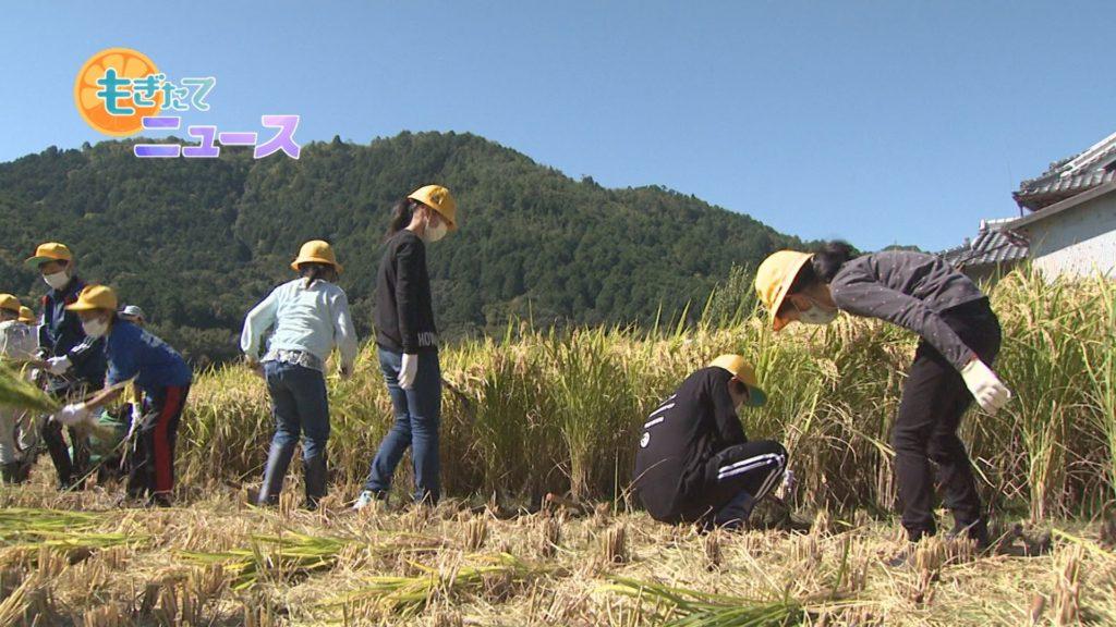 八木西小学校5年生 収穫の喜びをかみしめ稲刈り体験
