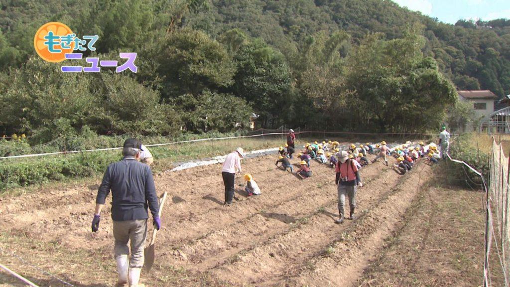 園部第二小学校1年生 芋掘り 大きな芋に大興奮!収穫の喜び味わう